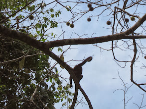 Photo: Howler monkey