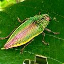 golden jewel beetle
