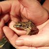 Forrer's leopard frog