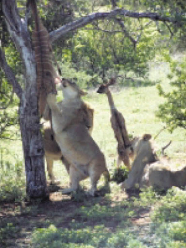 EXTENDED PARK: Lions in the Greater Kuduland Safari will join other animals. PIC: CHESTER MAKANA. 14/12/2009. © Sowetan.