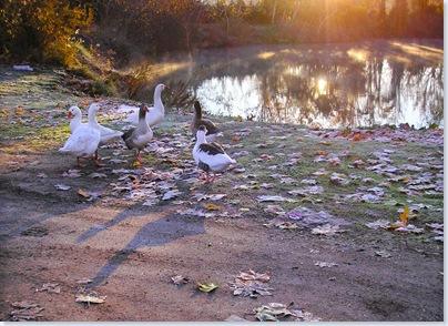 Patos en el río [1024x768]