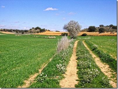 campo de cebada y almendro [1024x768]