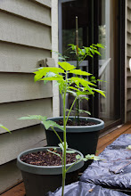 Photo: Fresh Tomatoes in Two Months