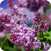 Lilac Plant Live Wallpaper