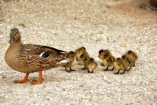Ducklings di Luca_ph