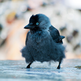 Jackdaw in the fountain by Peter Kostov - Animals Birds