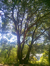 Photo: Beautiful tree growing in the right place. We need more oaks in Oakland.