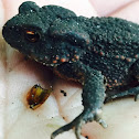Common toad (toadlet)