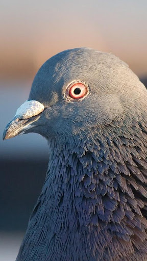 Pigeon Live Wallpaper