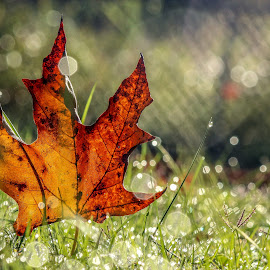 Fall Leaf by Jessica Rowley - Nature Up Close Leaves & Grasses ( fall, closeup, dew, bokeh, leaf,  )