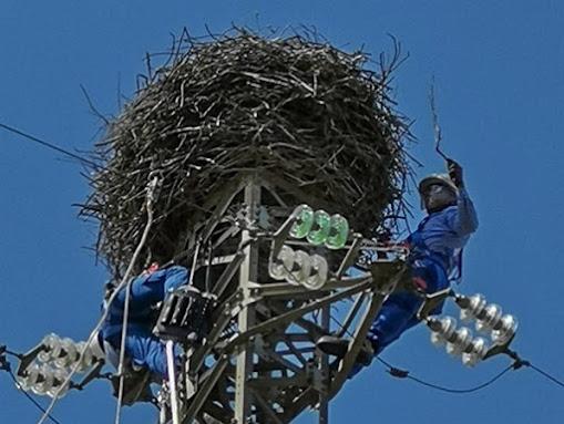 tecnici ENEL isolano i cavi vicini al nido cicogne