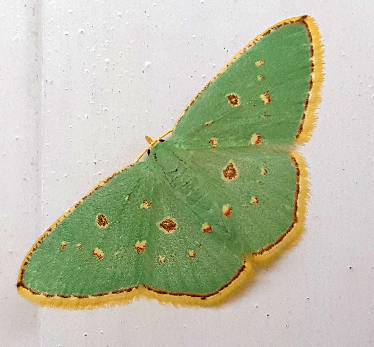 Orange Spotted Emerald