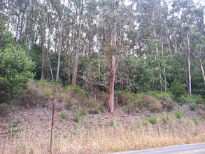 Photo: See the stunted natives under the eucalypti? Don't believe the lie that removing the invasives is clear cutting. It is what we gardeners call weeding!