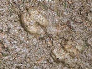 Photo: Peccary tracks