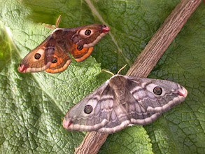 Photo: Emperor Moth (pair)