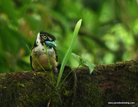 Photo: Black-and-Yellow Broadbill, Danum Valley