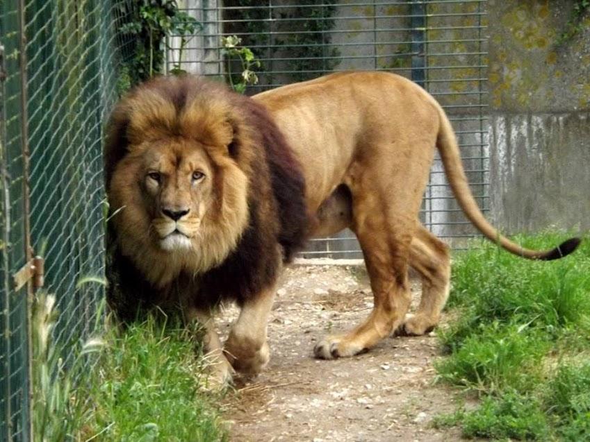 Lion, Refuge de l'Arche - Tous droits réservés