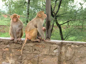 Photo: małpy na drodze z Delhi do Jaipuru [monkeys on the road from Delhi to Jaipur]