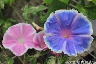 Photo: 拍攝地點: 春陽-可愛植物區 拍攝植物: 朝顏(牽牛花) 拍攝日期: 2015_09_05_FY