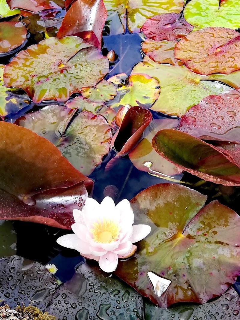 Il fiore nel laghetto di Lulu77
