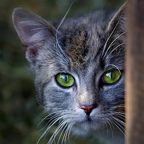 Wildkatze by Elke Krone - Animals - Cats Portraits ( katze, grüne augen, katzenbaby, wildkatze,  )