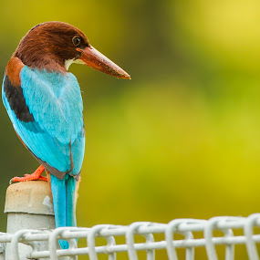White-Throated Kingfisher by Eric Wang - Animals Birds
