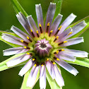 Purple salsify; Barba de cabra