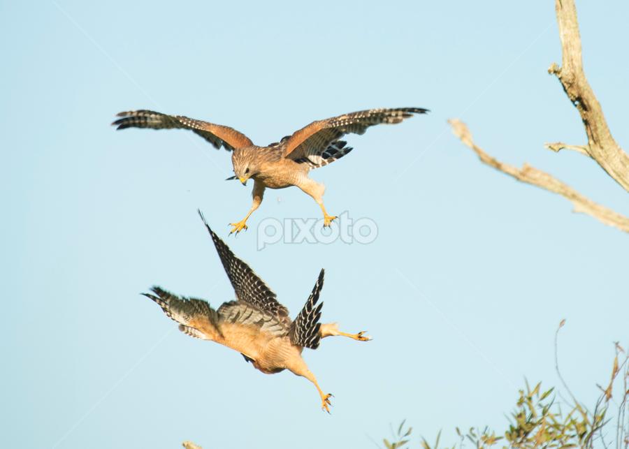 aaah! by David Ubach - Animals Birds ( playing, birds of prey, hawks, wildlife, fighting, birds )