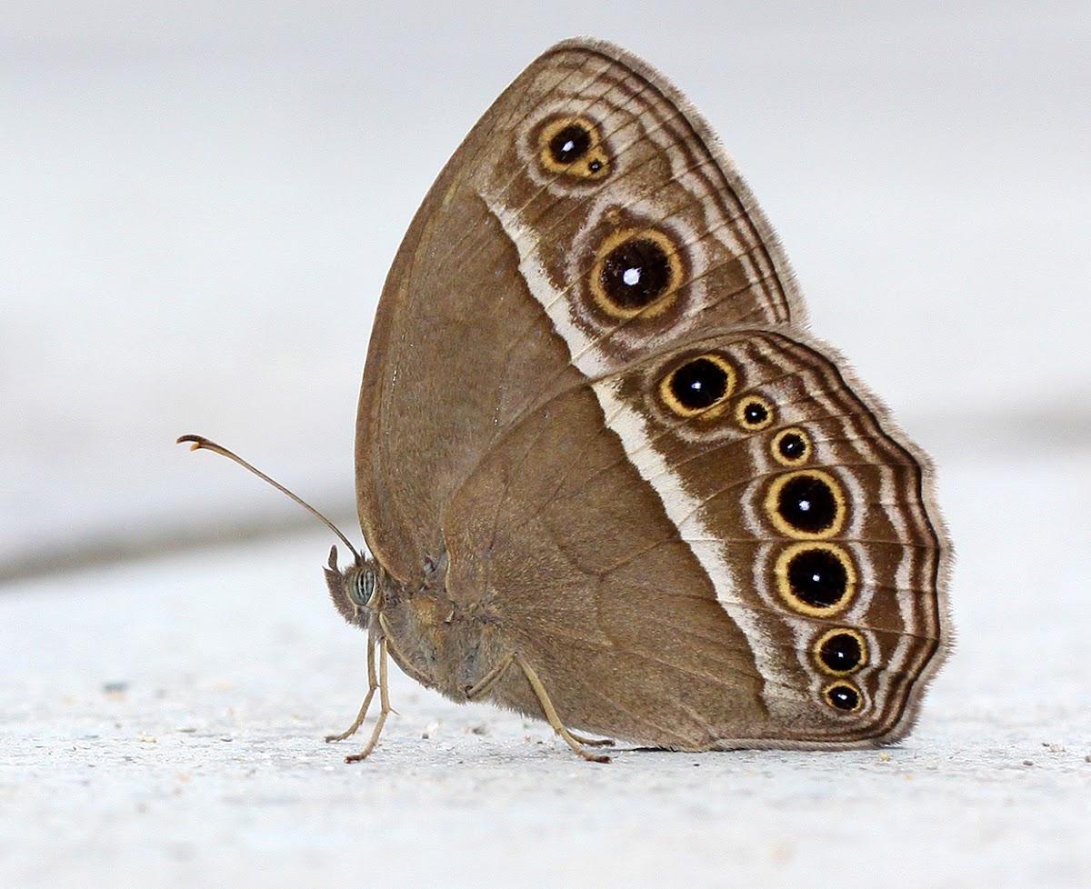 Common Bushbrown