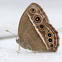 Common Bushbrown