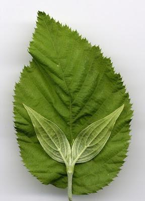 Verdi foglie affettuose di maurimm