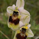 sawfly bee-orchid