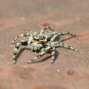 Tan Jumping Spider (Male)