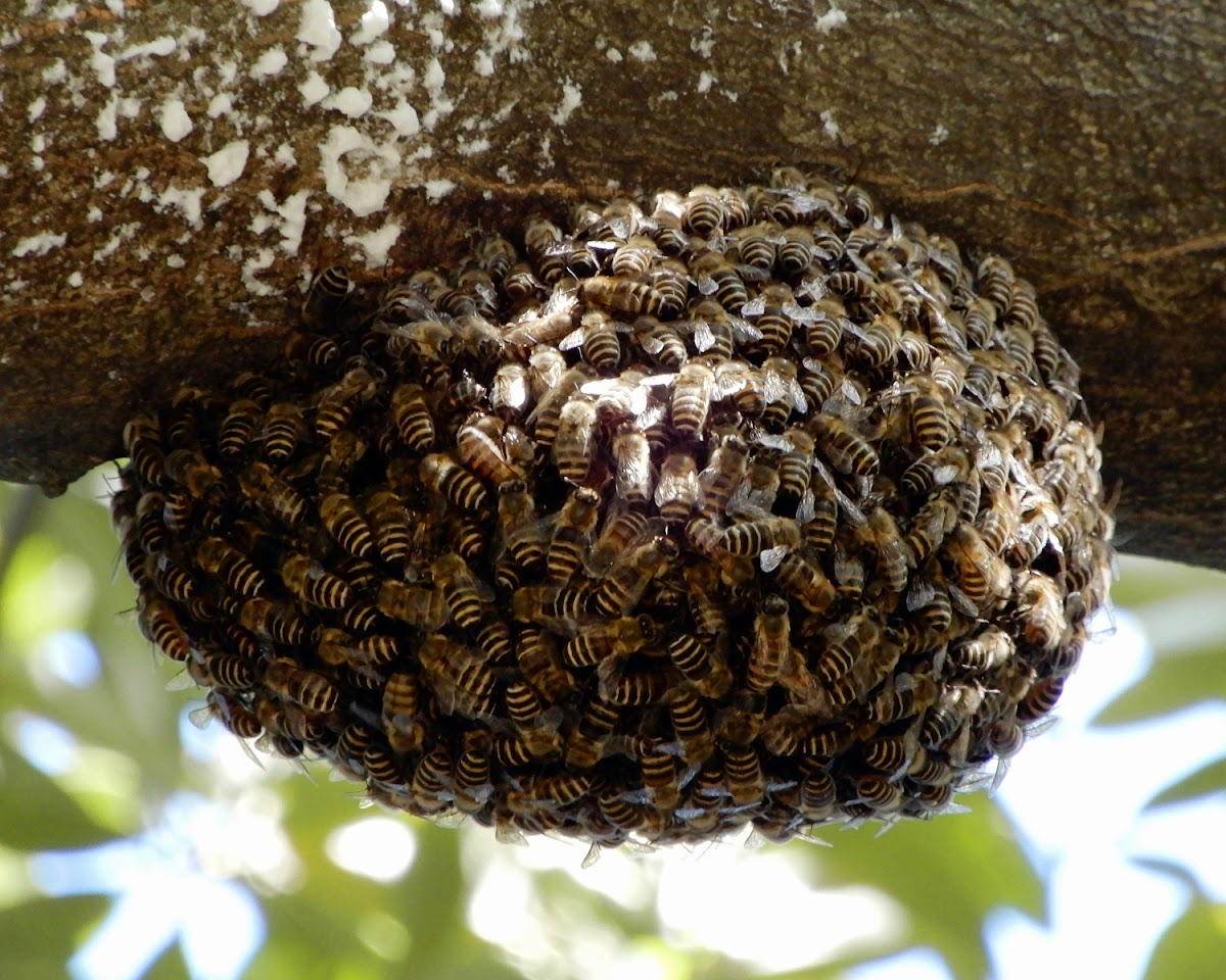 Japanese Honey Bees