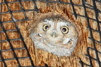 Photo: Elf Owl (female)