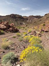 Photo: Britlebush in the Mojave Desert