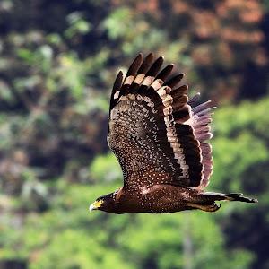 000001 1M 2013 04 27 TTR 2011 0426 內溝里藍鵲大冠鳩 TTR_5904.jpg