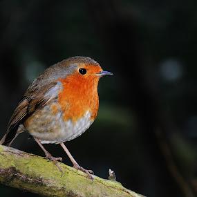 robin  by Eloise Rawling - Animals Birds ( robin, wild bird, bird photography )