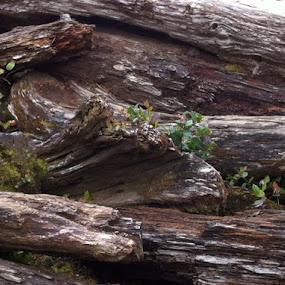 Driftwood - Pacific Coastal Scenic Byway Manzanita, Oregon by Margaret Whitesides - Nature Up Close Trees & Bushes