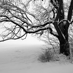 Walnut in Winter by John  Pemberton - Black & White Landscapes ( winter, tree, black and white, snow, landscape,  )