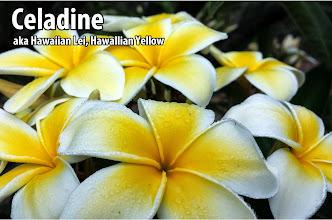 Photo: Celadine