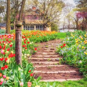 Stairway To Tulip Heaven by Lynn Kirchhoff - Flowers Flower Gardens ( spring, bulbs, blooming, blossoms, garden, stairway, tuilips,  )