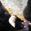 Rock sea snail