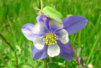 Photo: Colorado Blue Columbine (Our State Flower)