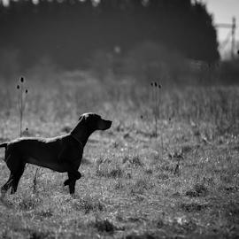 Hungarian Vizsla  by Gordon Bishop - Animals - Dogs Portraits ( vizsla, working, dog, hungarian )