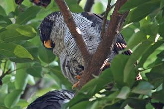 Photo: Black-and-white Owl