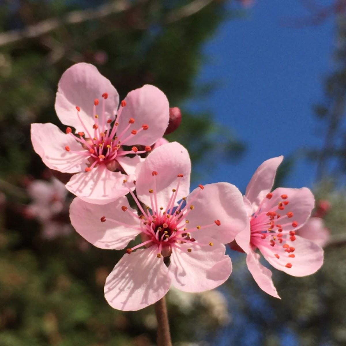 Cherry plum, prunier cerise