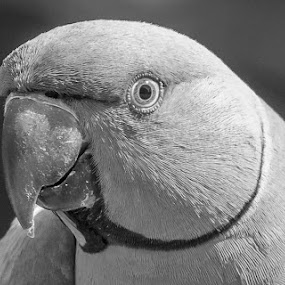 Rose ringed parakeet by Brijesh Meena - Black & White Animals ( bird, rose ringed parakeet, indian, wildlife, birds,  )