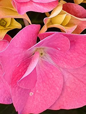 fiore pink di cascira