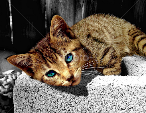 Tabby Kitten With Blue Eyes | www.pixshark.com - Images ...